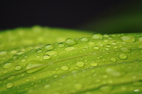 daun basah